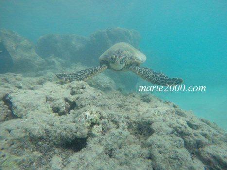 ハナウマ湾ツアーで見たウミガメ