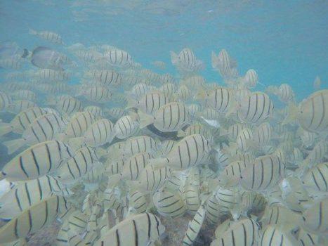 ハナウマ湾 熱帯魚