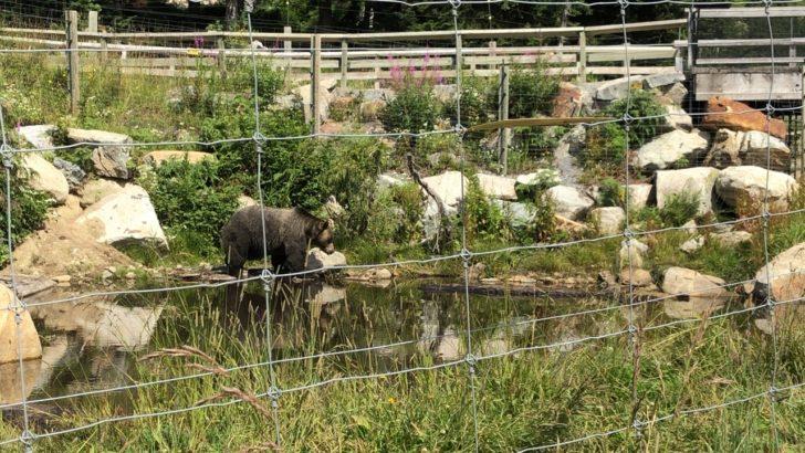グラウスマウンテン 熊